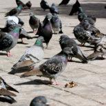 ハトの糞の危険性と8つの感染症