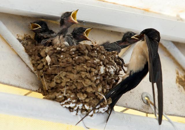 家 巣 作る が つばめ を ツバメが巣をつくると縁起が良いと言いますが本当でしょうか?