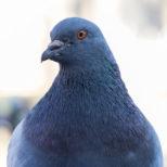 ハトの習性と生態を知ろう ハトってどんな鳥?