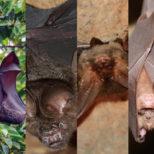 日本のコウモリの種類 主な6種の特徴をご紹介!