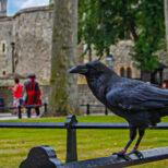 ロンドン塔に住む名物カラスの失踪で英国が崩壊危機?